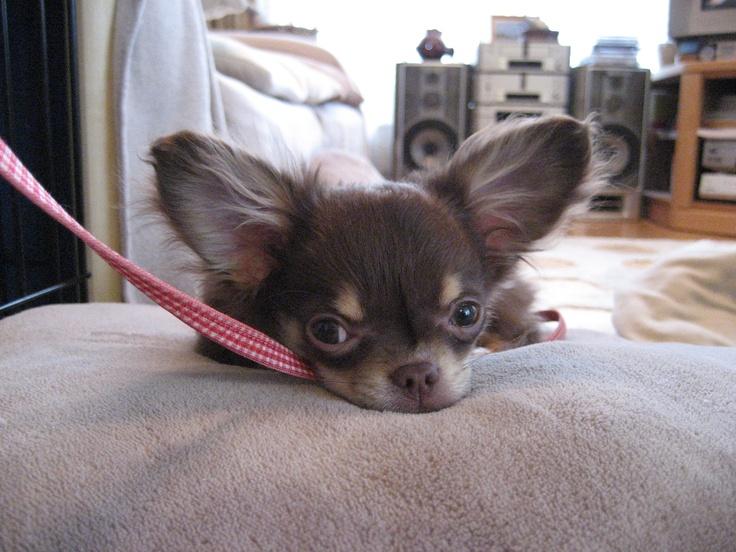 Cute (^^♪  Chihuahua