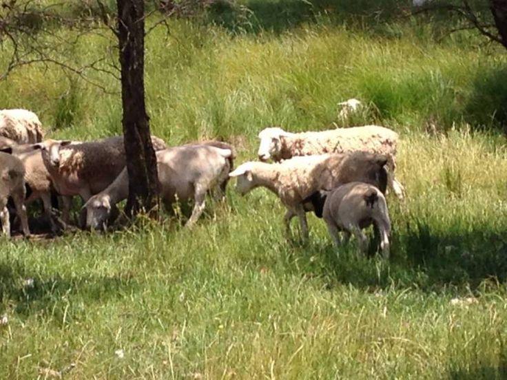 Dorpers - Complete Flock Disposal Sale | Livestock | Gumtree Australia Yass Valley - Yass River | 1130345541