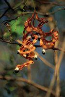 Cuando la época seca llega a su fin, las vainas de los frutos se abren para liberar las semillas.