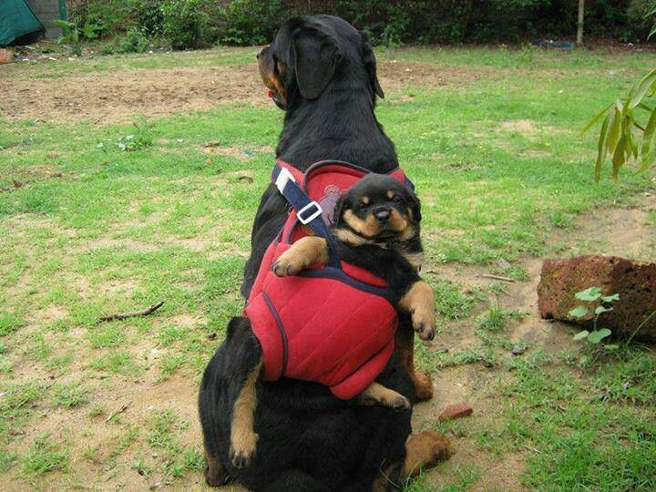 Doggy bag: Rottweilers, Animals, Dogs, Rottie, Pets, Funny, Puppy, Baby, Friend