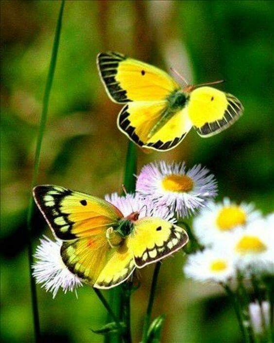 Mariposas amarillas | Yellow butterflies