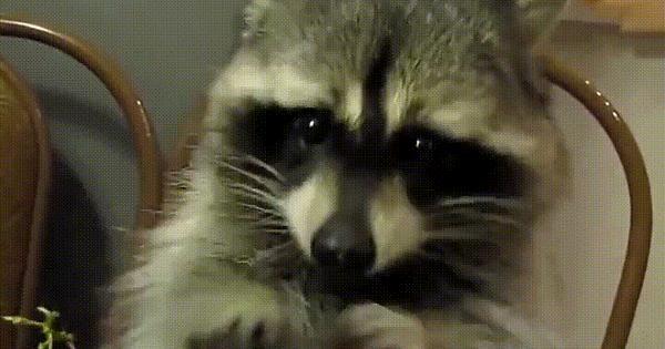Trash Panda loves grapes! - Album on Imgur