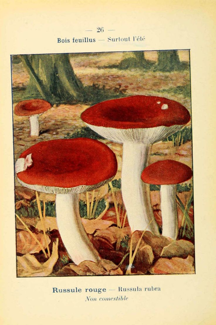 PL  26 - img/planches-dessins champignons/russula rubra - russule rouge - non comestible.jpg