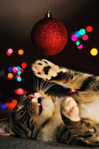 fot. Anna Woźniak #cat #christmastree