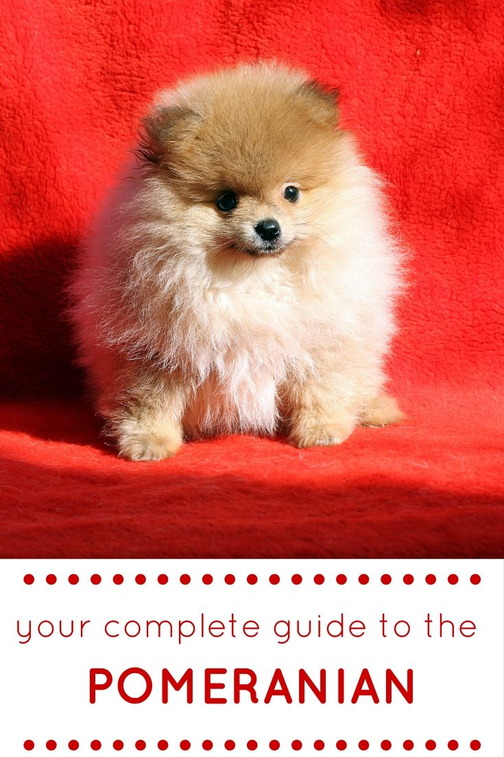 In the linked article we to take an honest look at the Pomeranian breed. Finding out all about his temperament, care and health.