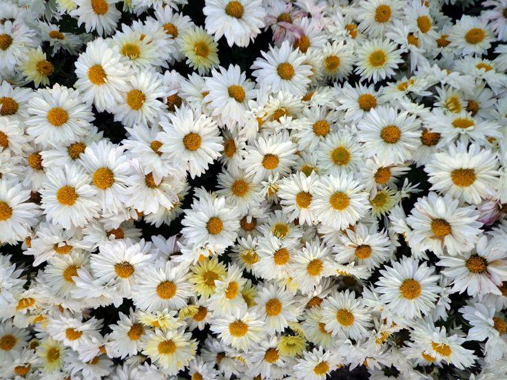Crisantemo-como-manzanilla-1353593403_72.jpg 1,200×900 píxeles http://www.torange-es.com/Plants/Flowers/Crisantemo-como-manzanilla-14195.html Banco de fotos www.tOrange-es.com libre y gratuita Crisantemo-como manzanilla  Tags - #planta #paisaje #Diseño #cama #Flores #flor #Caída #brillante #color #suave #Bush #jardín #Crisantemo