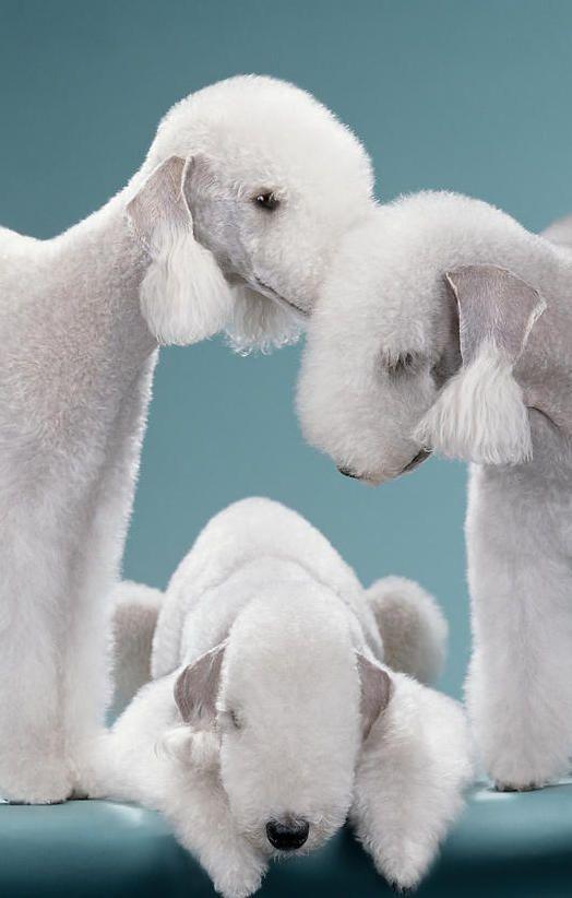 Bedlington Terriers Trio - Jean-Pierre Collin photography - http://www.jeanpierrecollin.com/
