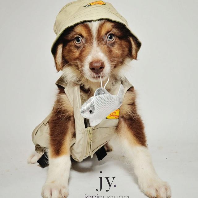 Red Tri Australian Shepherd | pets | Pinterest | Red tri ...