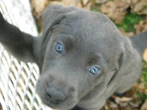 Silver Lab Puppies | Rare silver lab puppy | i cant even explain to you how much i want a silver lab!!