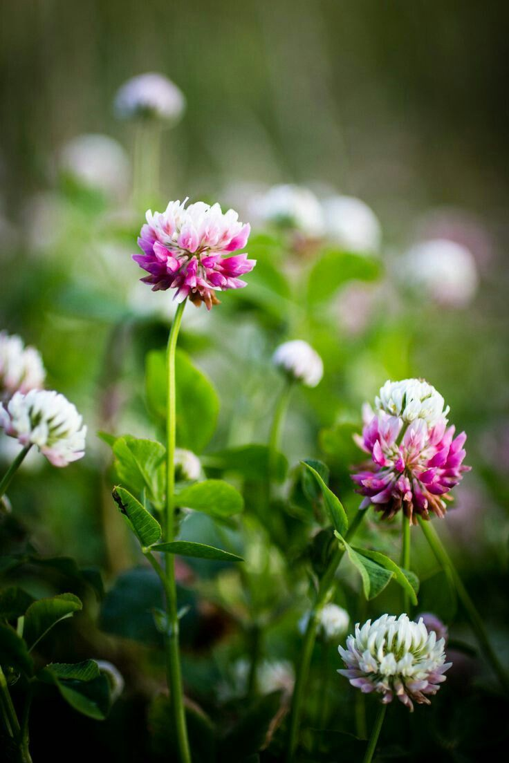 277 Best Red Clover Images On Pinterest Clovers Beautiful Flowers