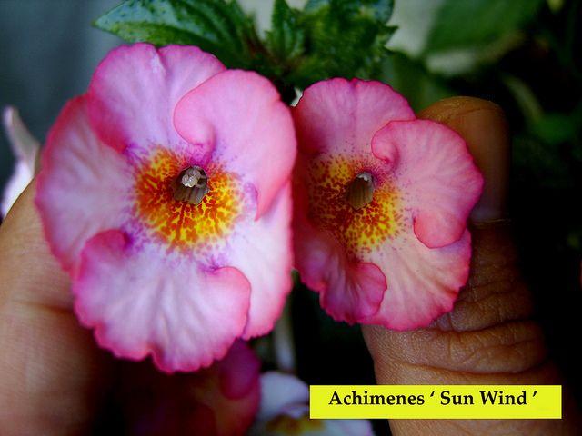 Achimenes 'Sun Wind' by Serge Saliba, via Flickr