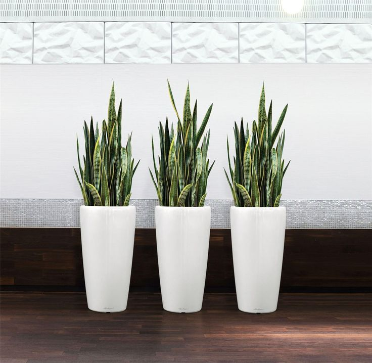 Variegated Snake Plants - Sansevieria - Pack of THREE