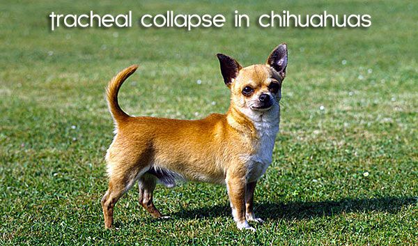 many chihuahua owners email us with concerns related to their chihuahua puppies or dogs experiencing breathing problems, more specifically frequent gagging, coughing and chihuahua wheezing and seizures that result in gasping for air.  this article…
