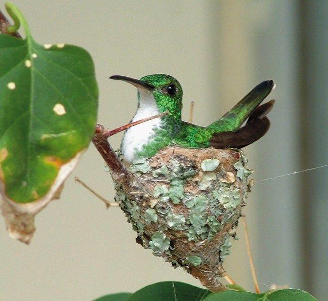 Foto beija-flor-de-barriga-branca (Amazilia leucogaster) por Antônio Cláudio C. Almeida | Wiki Aves - A Enciclopédia das Aves do Brasil