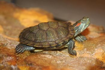 Information about keeping aquatic turtles such as red eared sliders in outdoor ponds, including basking and land areas, plants and keeping fish.