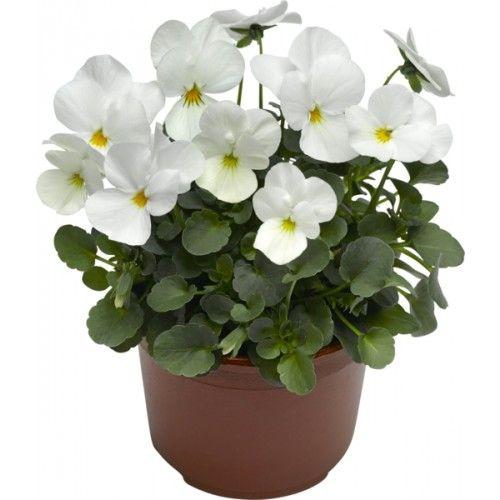 Stemor småbl 12 cm hvit