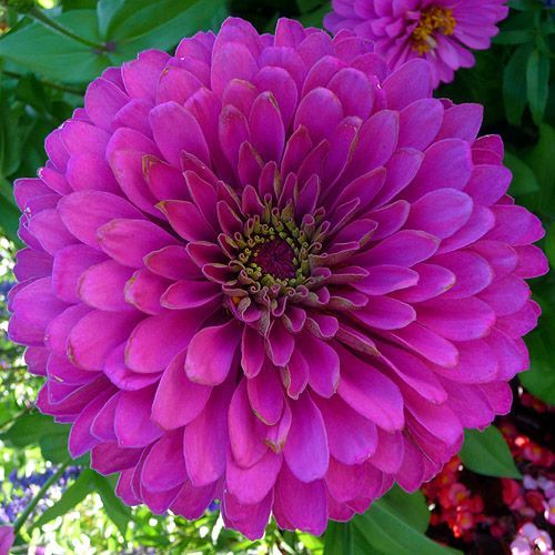 25 best ideas about zinnia flower pictures on pinterest for Purple flower shrub california