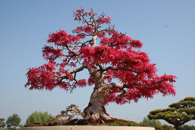 The Aesthetics of Bonsai Trees - BonsaiTreeGardener.net