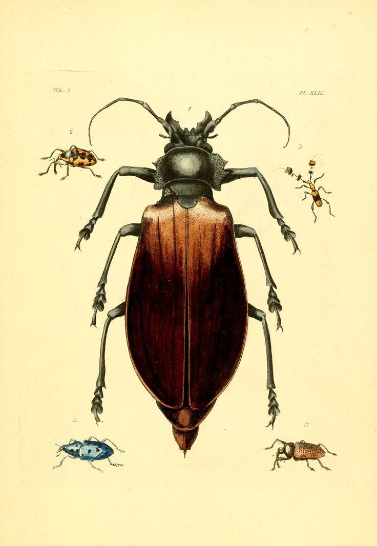 Illustrations of exotic entomology, v. 1-3 (1837) plates  London :Henry G. Bohn ...,1837  Biodiversitylibrary. Biodivlibrary. BHL. Biodiversity Heritage Library.