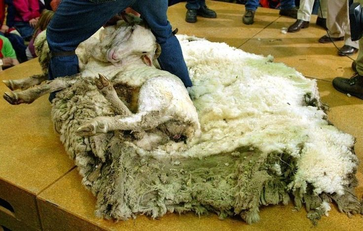 shrek-the-sheep-4[2]Also, if a sheep's wool becomes too large they can get stuck on their backs, unable to get up.  Shrek is not the only sheep to hate the shearing process, although it's a quick and pain-free ordeal that sheep get more and more comfortable with as they age. Baby sheep tend to have the most disdain for shearing, causing a lot of commotion the first few times they experience the process.