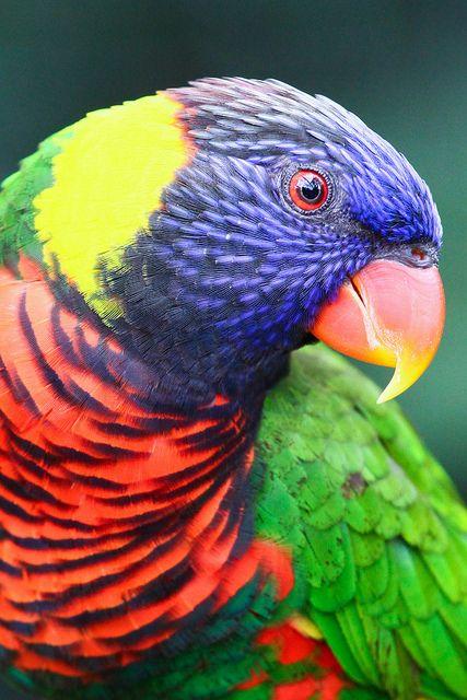 Lorikeet - (CC)Mark Dumont - www.flickr.com/photos/wcdumonts/7498598908/in/set-72157616041129573