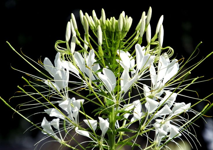 The #Spider #plant from South America #Cleome #spinosa '#Helen #Campbell'