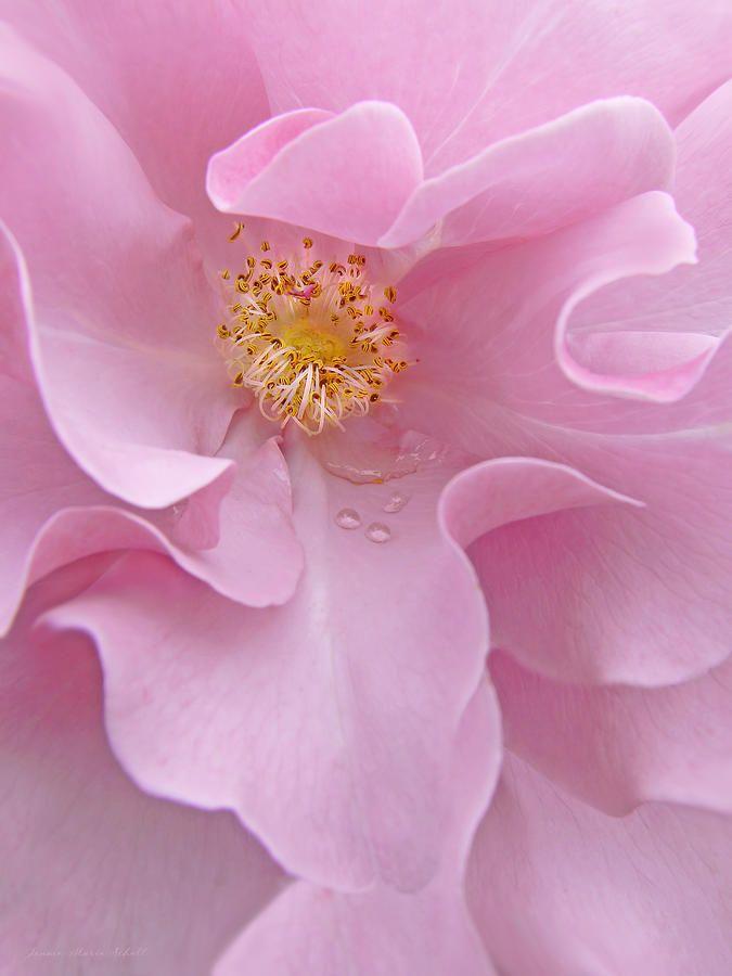 Macro Pink Rose Flower by Jennie Marie Schell