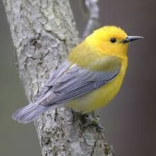 Image result for warbler