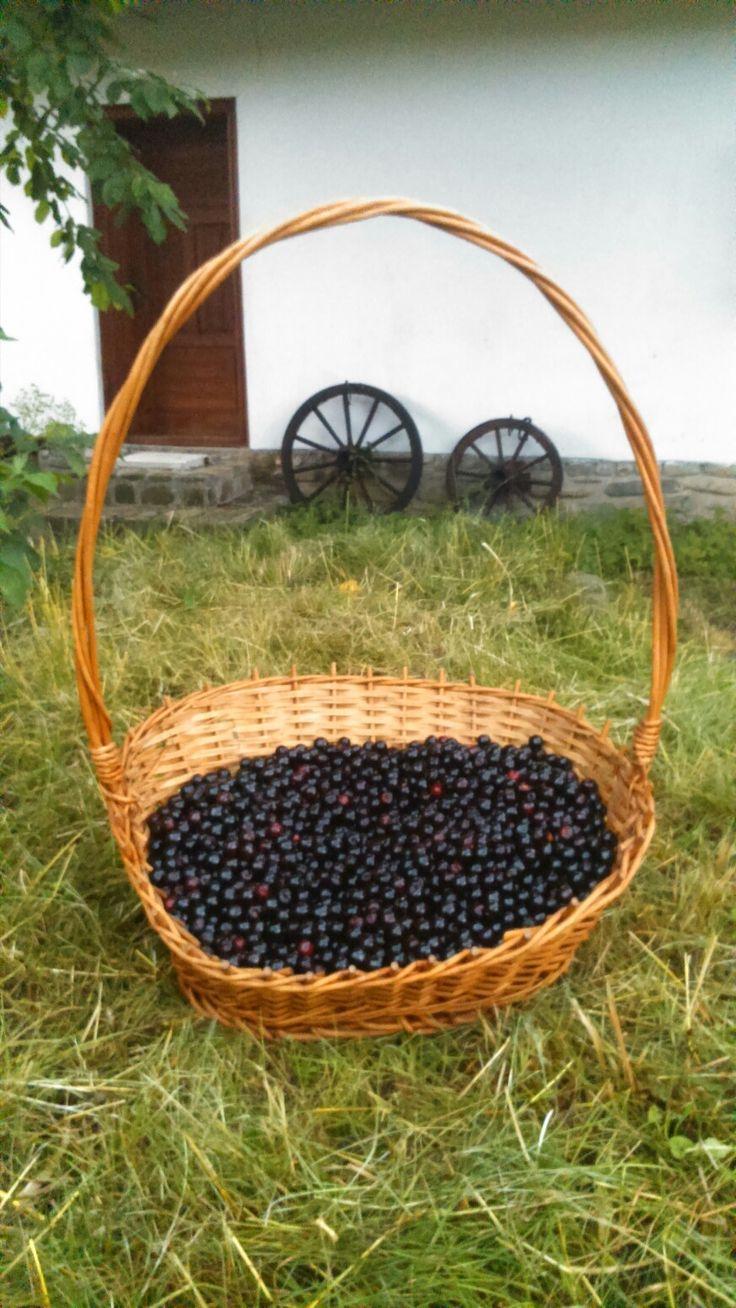 Bitter cherry, Teișani 2017
