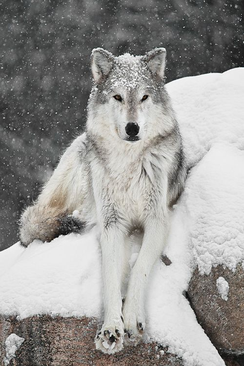 41de04bc7cd75a5334676a5997e8edaf--alpha-wolf-wolf-photography.jpg