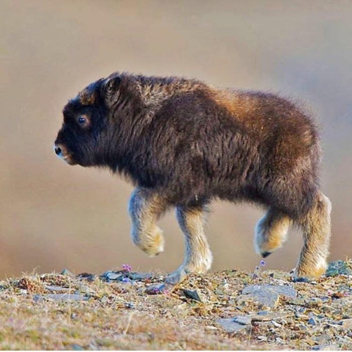 Just a baby bison - 9GAG