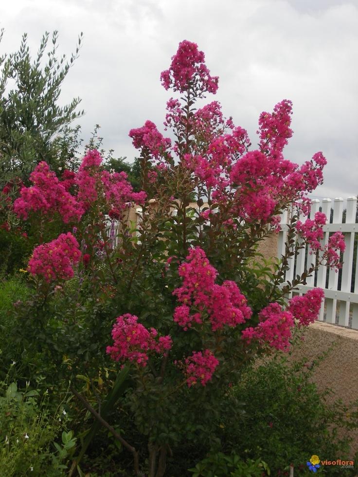 Les 25 meilleures id es concernant arbre de bougainvilliers sur pinterest bougainvillier - Arbre lilas des indes ...