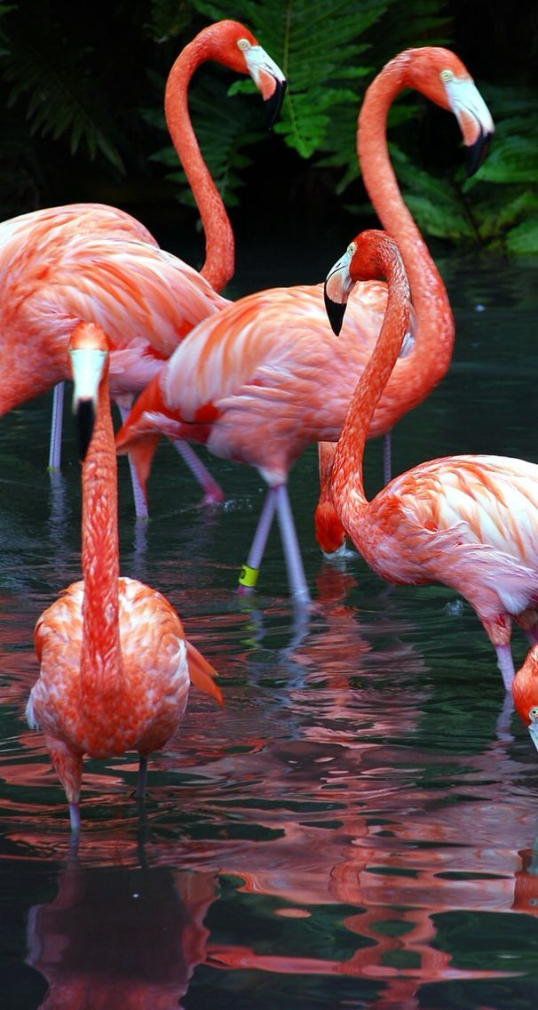 Картинки фламинго на телефон
