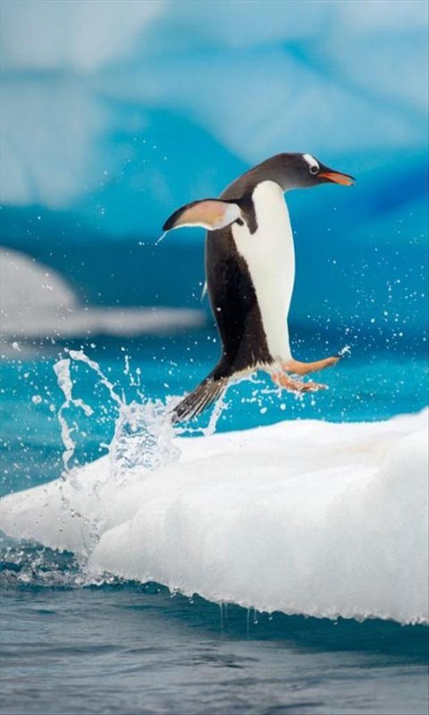 "Cute Penquin Doing the ""Happy Feet"" Dance! ~  Amazing Marine Life Photograph"