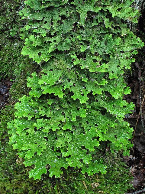 **Lobaria pulmonaria ~ Lung Lichen, Lung Moss