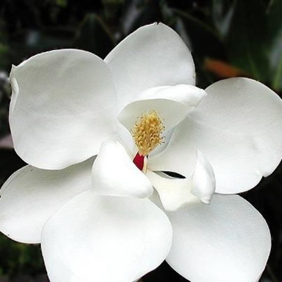 Meet Your Posher Sharon In 2020 Little Gem Magnolia Tree Magnolia Flower Magnolia Trees