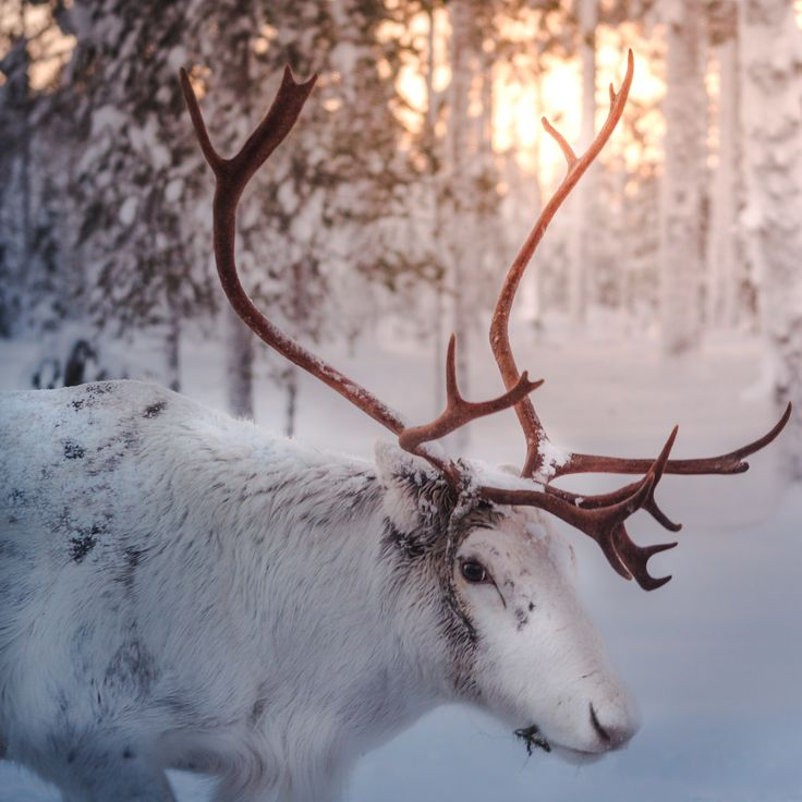 Reindeer in the last sunlight of the day