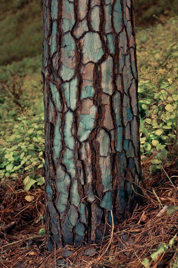This bluish green tree bark is way cool