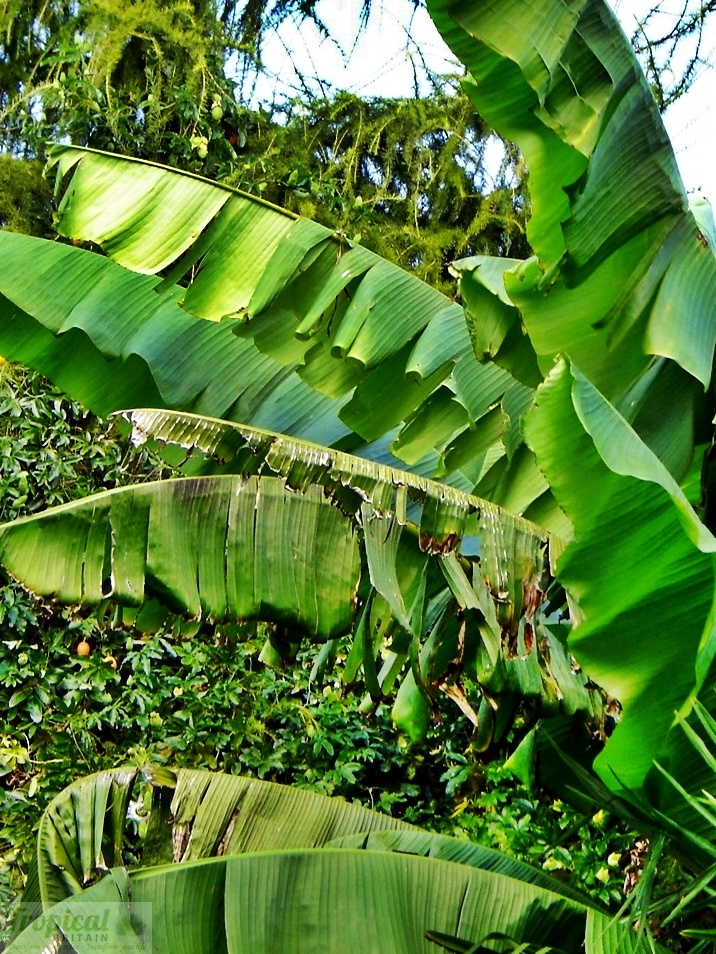 Uk Tropical Plants Part - 37: Musa Basjoo - Hardy In The UK - This Particular Plant Reached High In Just  Eighteen Months. Website Selling Tropical Plants In Uk