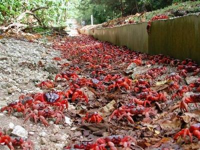 Curiosidades del Mundo: La migración del Cangrejo Rojo (Gecarcoidea natalis). Isla de Navidad – Australia (Océano Índico).