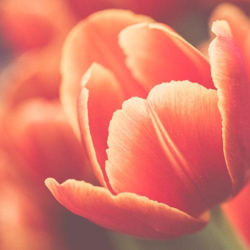 8 x 8 Print  Orange Tulip / Melbourne Australia / by oyphotography