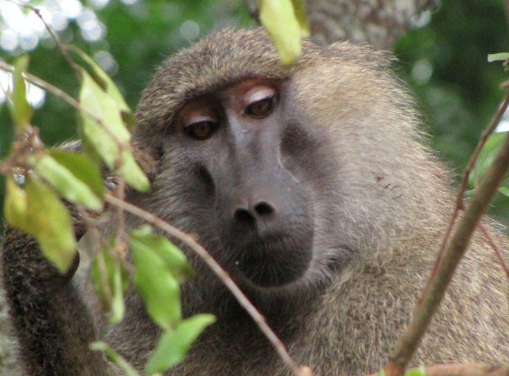 Baboon | Description Yellow Baboon, Tanzania.jpg