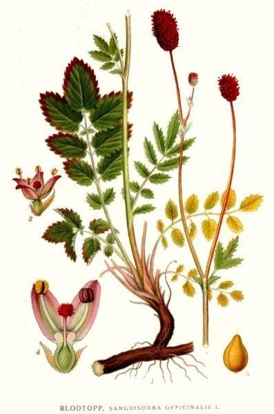 In der traditionellen chinesischen Medizin wird der Wiesenknopf bei Durchfällen und Hämorrhoiden genutzt, auch bei uns war er früher sehr beliebt. Finde heraus, wie du ihn noch heute nutzen kannst!
