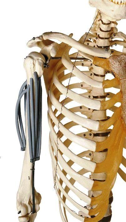87 best anatomy models images on pinterest | anatomy models, skull, Skeleton