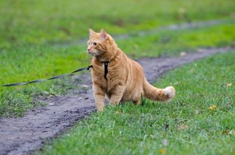The View From the Top of the Bookshelf: Leash Training a Cat