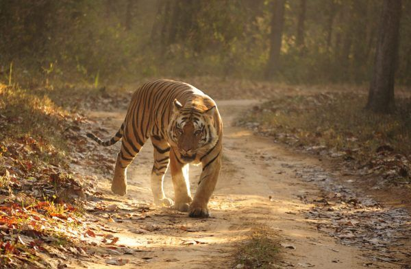 Get to know Where Do Bengal Tigers Live in the wild. We have listed down all the current locations where bengal tiger is found. Learn about the Bengal Tiger Habitat and get to know why it needs such a habitat. Read about Bengal Tiger Habitat Loss along with a habitat map and a bengal tiger documentary video.