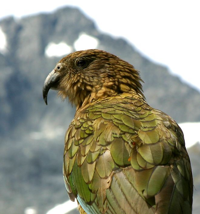 The kea is one of several parrots found only in New Zealand.