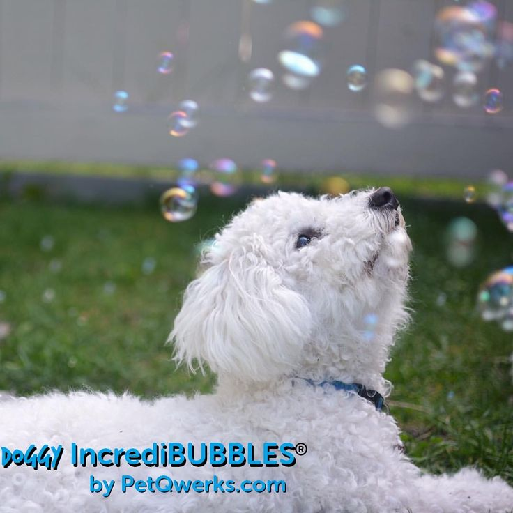 I smoked too much! . Blow long-lasting bubbles for pets to chase and pop. Doggy #IncrediBubbles is Peanut Butter Flavor Infused allergen free.⠀  . Cute Photo by @adventuresofabichon