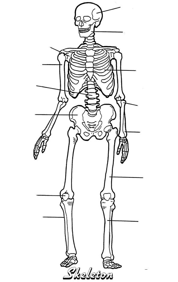Skeleton Blank Printable Science Misc Homeschool