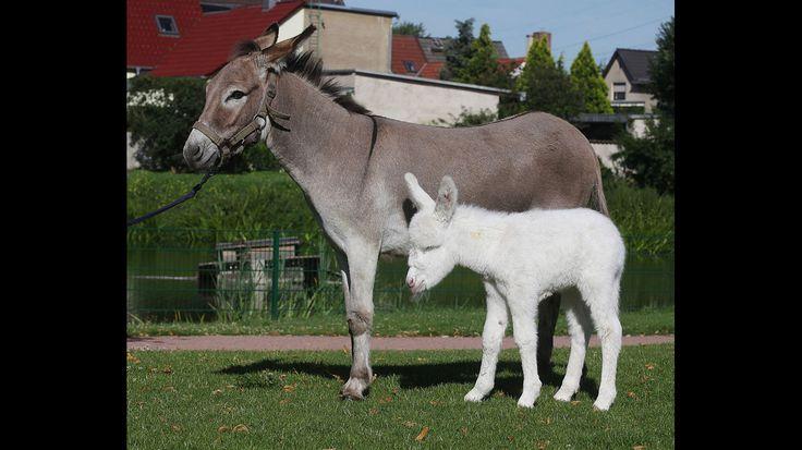 Der Tierpark in Greppin bei Bitterfeld-Wolfen freute sich 2011 bereits zum zweiten Mal über weißen Eselnachwuchs. Vor acht Jahren kam das erste Albinofohlen zur Welt und sorgte in ganz Deutschland für Begeisterung. Weiße Albino-Esel sind beliebte Züchtunge